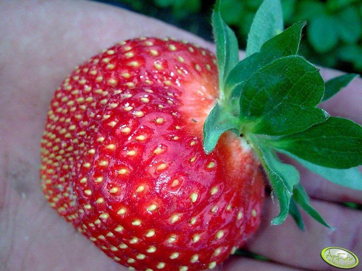 Pyszna truskawka  #wiemcojem #truskawka #truskawki #owoce #zdrowie #fit