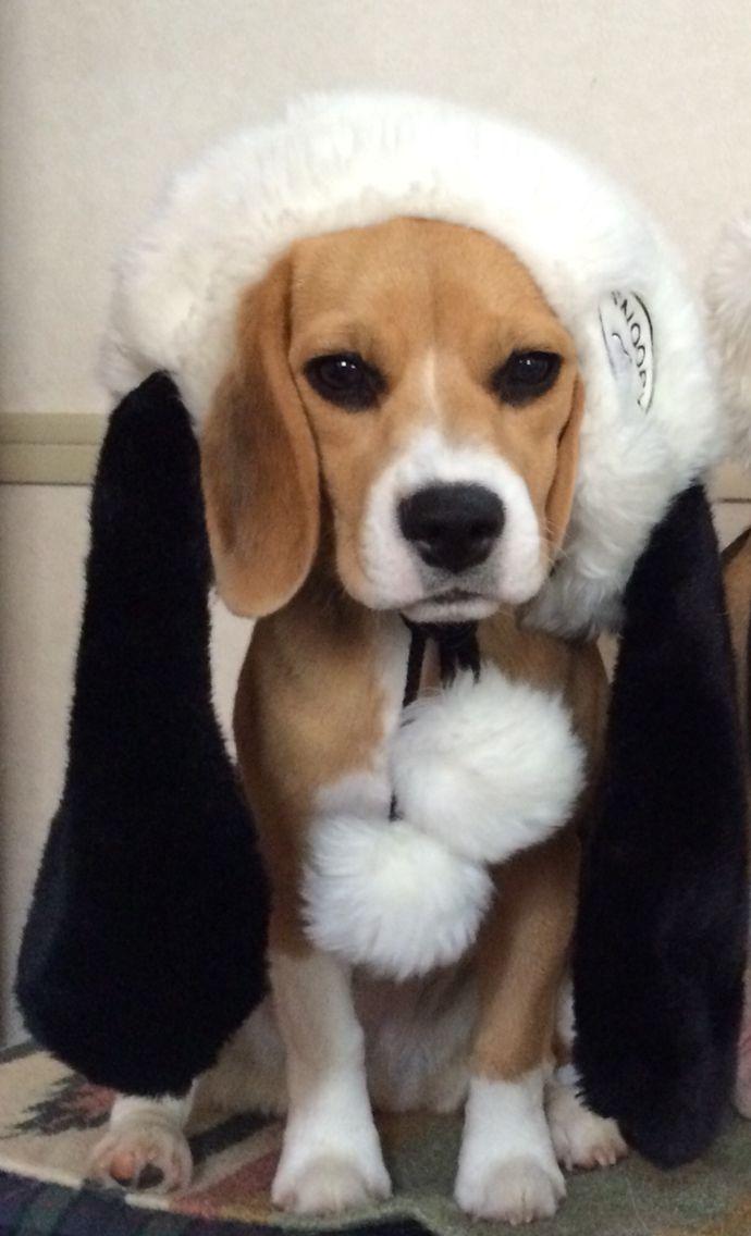 Raku Chan the Beagle Snoopy❤️