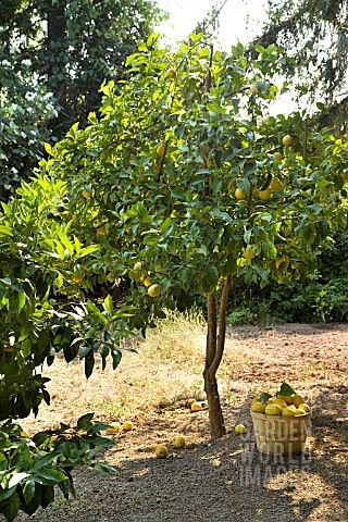 AJ153195_CITRUS_X_MEYERI_MEYER_LEMON_TREE_WITH_BASKET_OF_NEWLY_PICKED_FRUIT.jpg (320×480)