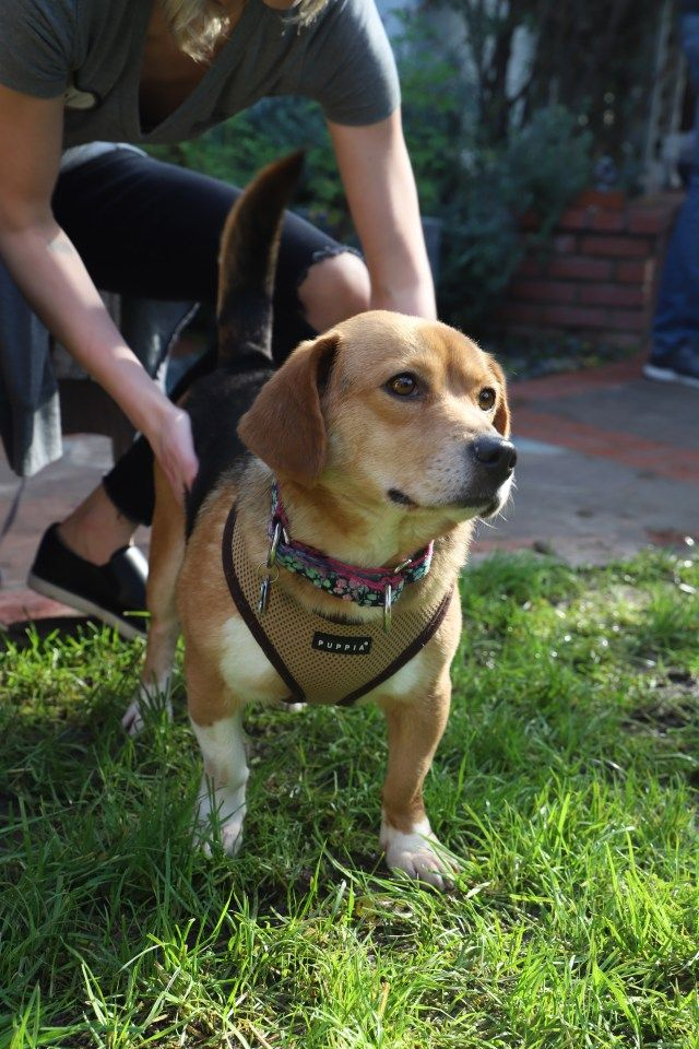 Rescued Canines From South Korea Farm Canines Really Feel Grass And Freedom For The Primary Time In Months Canine Beagle Freedom Project Rescue
