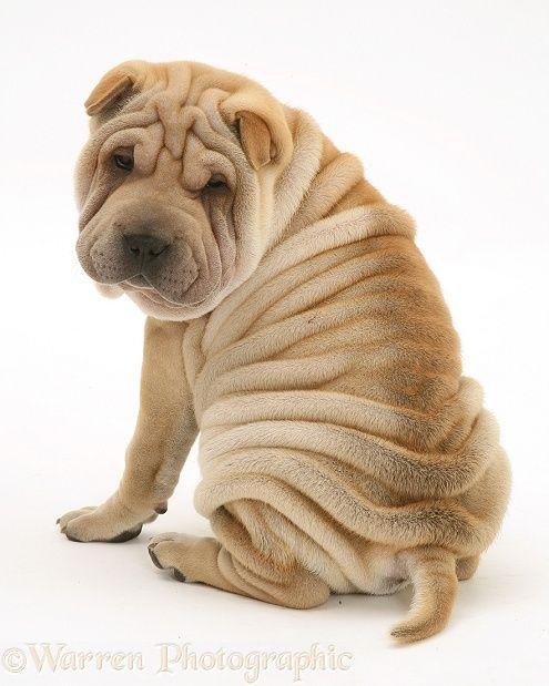 Dog: Shar-pei pup