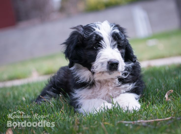 Beautiful Bordoodle Puppy Is A Mix Between A Border Collie And A Poodle The Two Smartest Dogs In The World The Bordoodl Border Collie Smartest Dogs Bordoodle