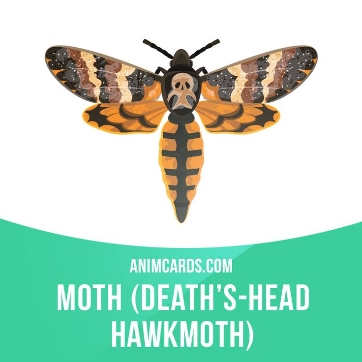 The name death's-head hawkmoth refers to any one of the three moth species of the genus Acherontia (Acherontia atropos, Acherontia styx and Acherontia lachesis). They can move about in hives without being disturbed because they mimic the scent of the bees. #english #englishlanguage #learnenglish #studyenglish #language #vocabulary #dictionary #englishlearning #vocab #animals #hawkmoth #moth #moths #insect #insects
