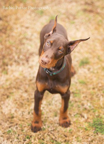 Doberman Pinscher Puppy Dogs