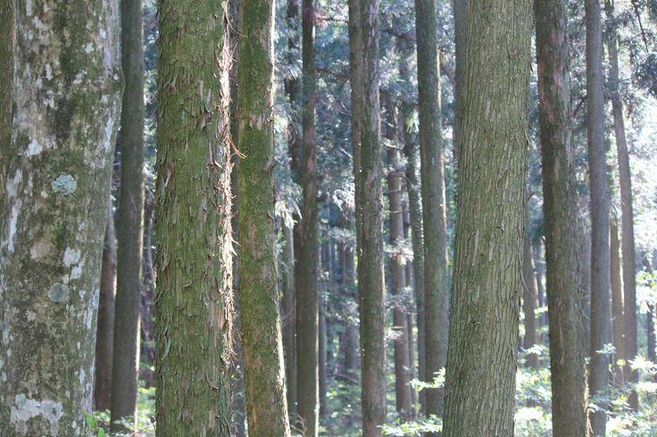 제주도 자연이  아름다운 사려니숲 잘 가꾸어진 삼나무숲