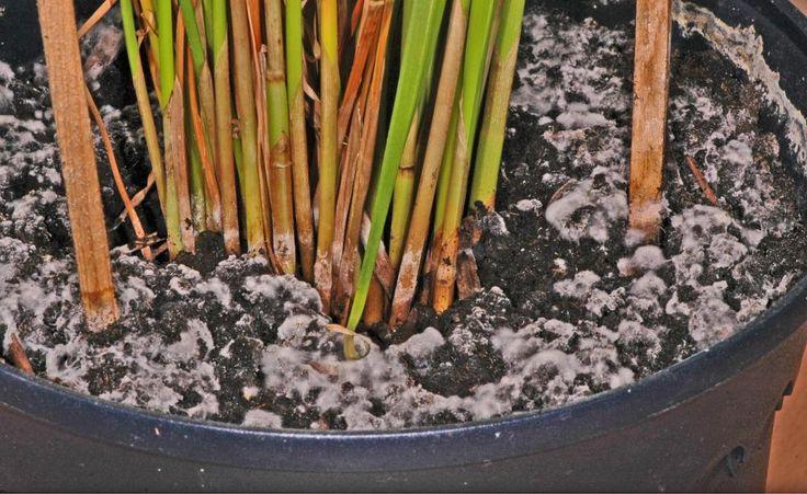 Das hat fast jeder Hobbygärtner schon erlebt: Auf dem Ballen der frisch umgetopften Zimmerpflanze macht sich mit der Zeit ein Schimmelrasen breit. Wir erklären, wie der Schimmel entsteht und was man dagegen unternehmen kann.