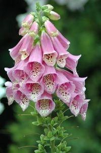 Care for Foxglove Plants