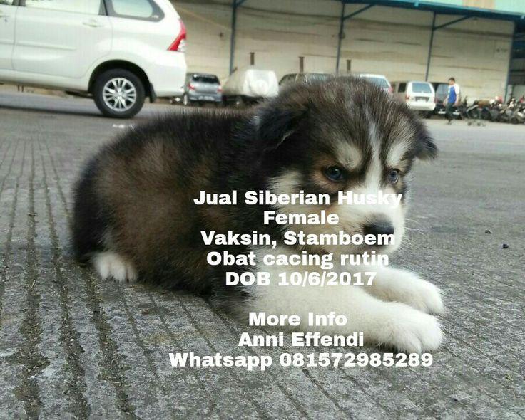 Jual Siberian Husky  Female Vaksin, Stamboem  Obat cacing rutin  DOB 10/6/2017  More Info  Anni Effendi Whatsapp 081572985289