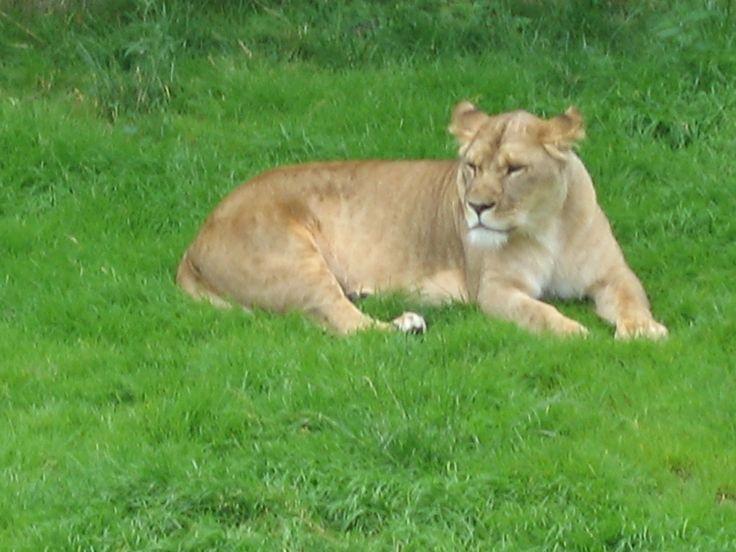 Léon no jardim zoológico Hellbrunn