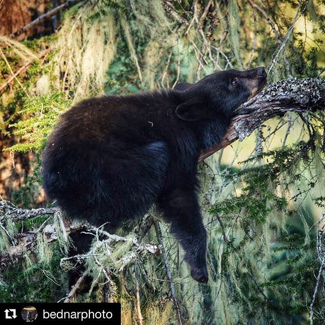 #Repost @bednarphoto ・・・It ain't easy being a bear cub; it is hard finding a comfortable position for snap! @hellobc #littlethingswhistler #bears #whistlerphotosafaris #bearsafaris