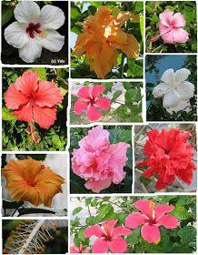 A Timo ----- ¿Flor de la caoba ? ¿ Rosa de Bayahíbe ? Muchos crecimos creyendo que la verdadera flor nacional era la cayena, especialme...