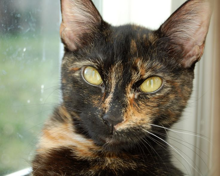 My Tortie Cat Bully Tortitude Tortie Cats