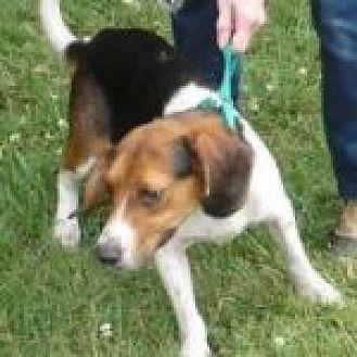 Dumfries, VA - Beagle Mix. Meet Arthur, a dog for adoption. http://www.adoptapet.com/pet/18993007-dumfries-virginia-beagle-mix