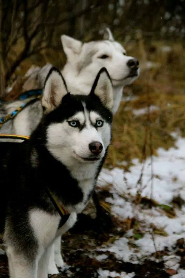 Black and white Siberian husky with blue eyes. Beautiful!