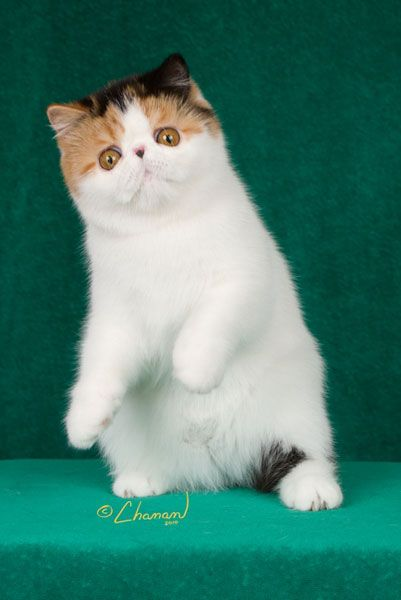 Purfurvid: Exotic Shorthair Cats & Persian Cats - GC Purfurvid Pop Gun of Toxicate