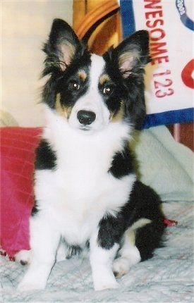 Aussie-Corgi - Australian Shepherd/Corgi hybrid (mini version of a very smart breed)