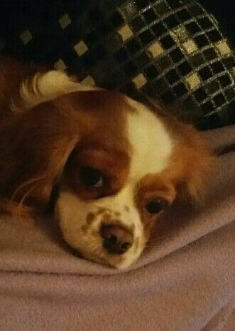 Lilli,my cute cavalier