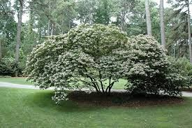Image result for CLERODENDRUM TRICHOTOMUM