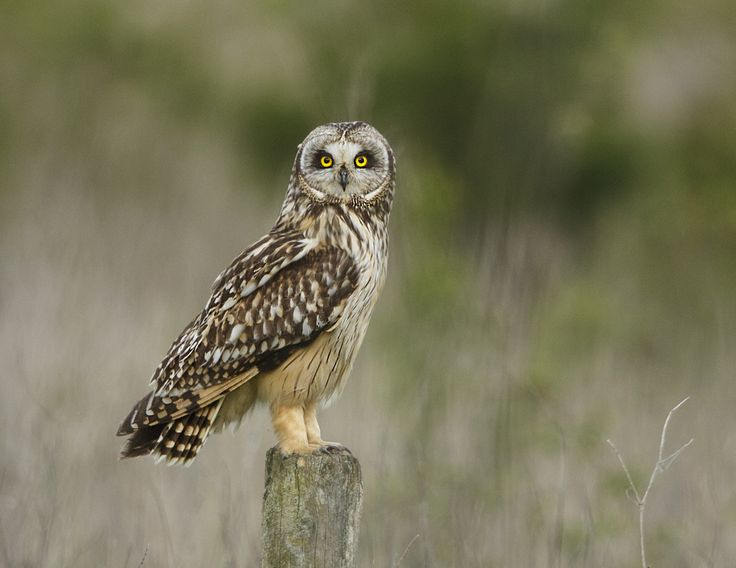 Short eared owl. My what bright eyes you have