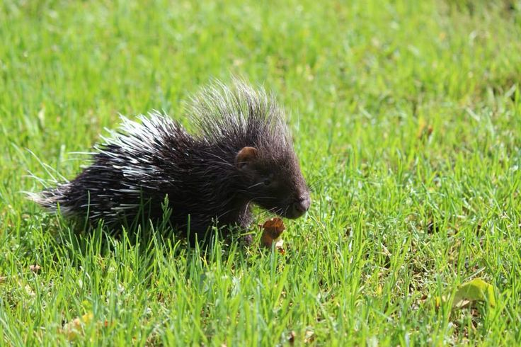 African Created Porcupines