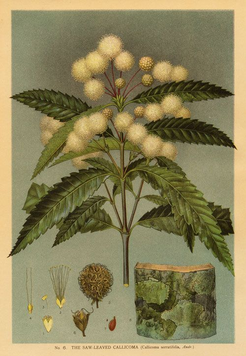 Australian Botanical Illustration Callicoma serratifolia Black Wattle artist: Edward Minchen (1862-1913) from: 'The Flowering Plants and Ferns of New South Wales - Part 2' (1895) by J H Maiden NSW Government Printing Office