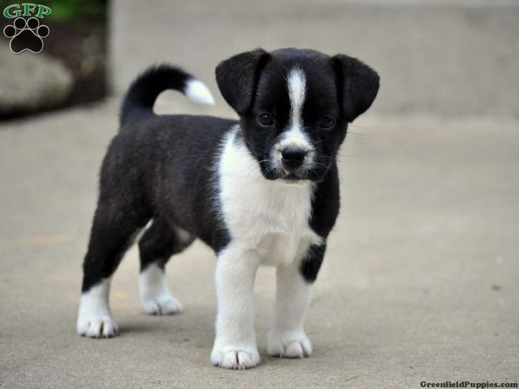 border collie jack russell terrier mix border jack google search border jacks puppies 4454