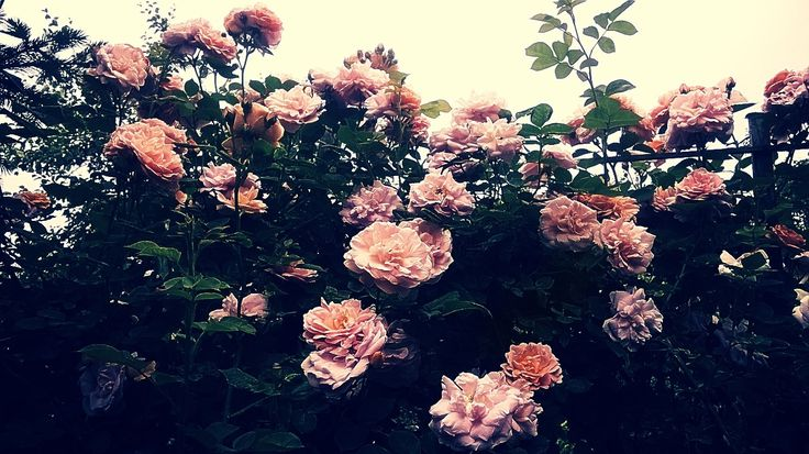 Even more beautiful roses :D