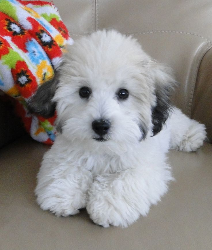Bailey in an adorable puppy cut. Bailey is four months old. He is a Coton de Tulear