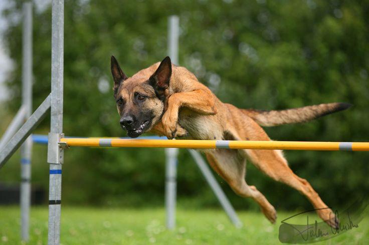 Belgian Shepherd Malinois Agility Dog Pictures