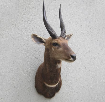 South Pacific Taxidermy African Bushbuck mount #taxidermy #animalart