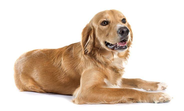 Akc Labrador Puppies Virginia Ideas