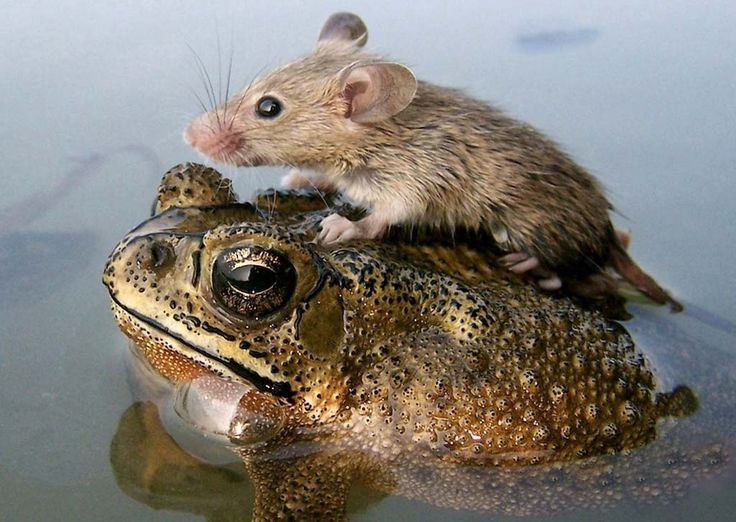 This is such an amazing photo! A mouse rides atop a frog to escape monsoon flooding in India, National Geographic