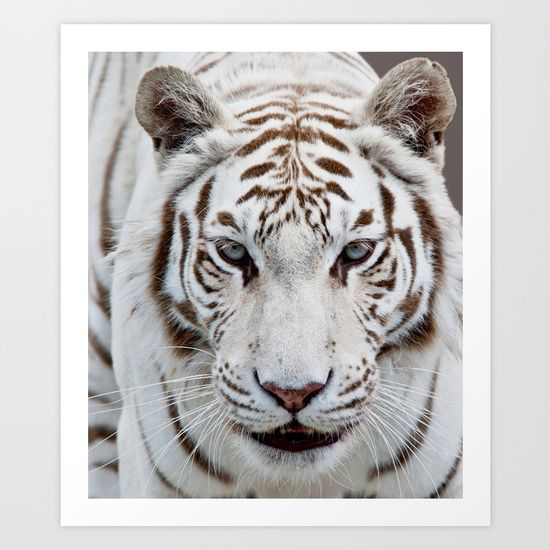 This is the first of my white tiger images. Afterwards, I developed OTD - obsessive tiger disorder :) Since then , many more tiger and white tiger images have pussyfooted into my gallery .<br/> Here is a closer and more personal view of this lovely tiger , for example -<br/> http://society6.com/catspaws/blue-eyed-boy_print#1=45<br/> tigers,white tigers,feline,cats,big cats,wild, wildlife,animals,animal portraits,cat portraits,cat pict...