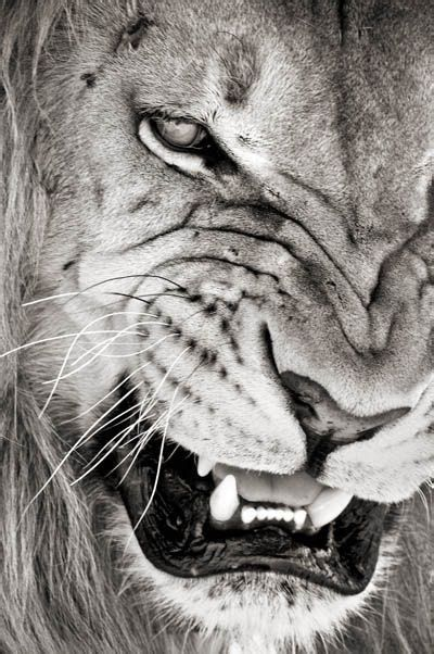 The Painted Bench Snarling Lion Tattoo Pinterest