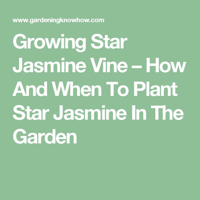 Growing Star Jasmine Vine – How And When To Plant Star Jasmine In The Garden