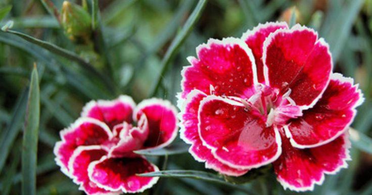 Tipos de flores da Romênia. Há três regiões distintas de flores da Romênia: os Cárpatos, a região da Dobruja e o Delta do Danúbio. Dessas regiões, as condições de alpes dos Cárpatos romenos gerou uma variedade de flora nativa interessante. Campânulas, flores de globo, genciana amarela, violeta silvestre, ásteres e rododendros podem ser encontrados nos campos de alpe. Os ...