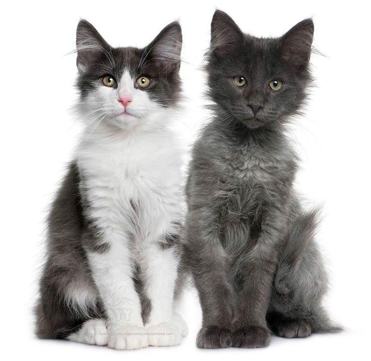 Kot Norweski Leśny - Rasowe Koty Domowe