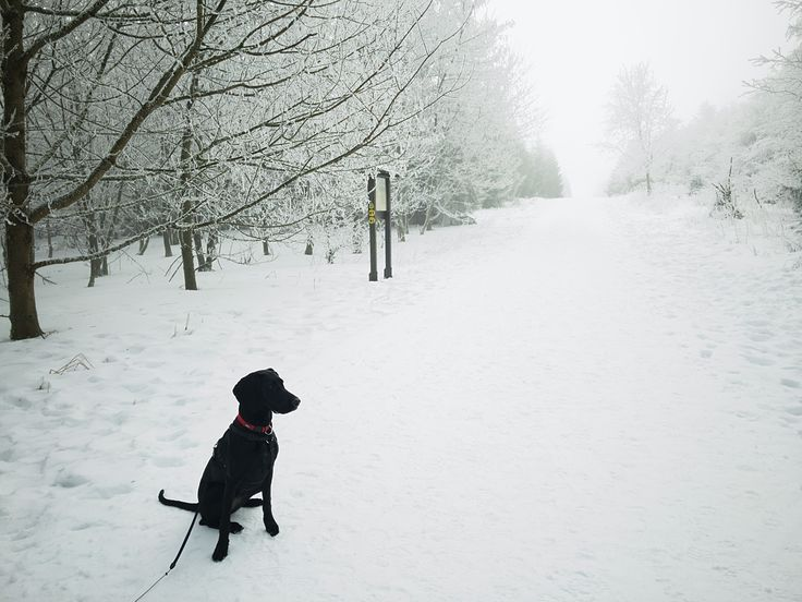 #snow #snowdogs #snowdoggie #dog #dogs #dogwalking #dogsofinsta #dogsoninstagram #snowdog #petstagam #hundeleben #kurzhaar #schweißhund #schweisshund #meissner #berg #berge #wald #baum #schnee #schneeberg #meißner  #schneehund #pfoten #pfotenabdrücke #4pfoten #hohermeissner #hohermeißner