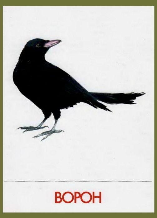 Птицы наших лесов. Дидактические карточки.. Обсуждение на LiveInternet - Российский Сервис Онлайн-Дневников