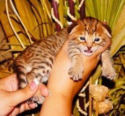 Savannah Cats For Sale | Savannah Kittens For Sale | Savannah Cat Breeders | f1, f2, f3, f4, f5, SBT Savannah Cats