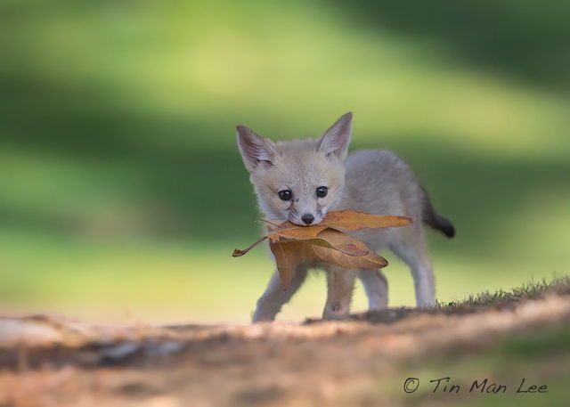 Little fox playing with leaf