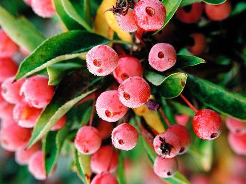 Malus 'Adirondack' FLOWERING CRABAPPLE Resistant to scab says U of MN