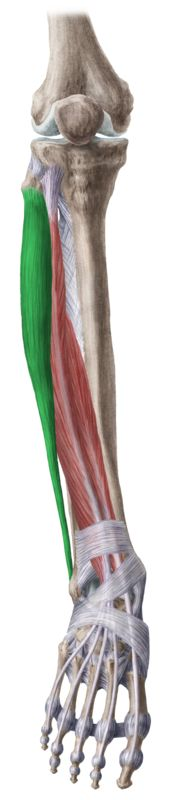 This is the tendon that is tearing and causing all my pain. Peroneus longus.