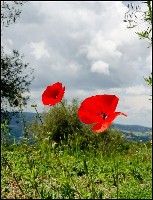 Tuscan poppies in the Val d'Orcia, our home in Tuscany. #valdorcia, #tuscany