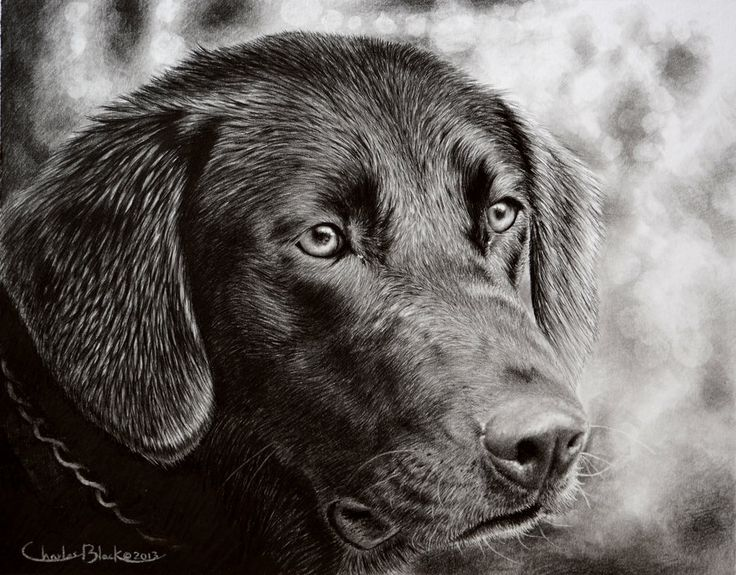 Lab Pencil Drawing By Eidolic.deviantart.com On @DeviantArt | Graphite Sketches | Pinterest ...