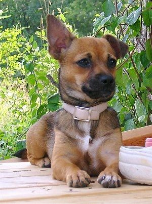 Chiweenie Dog Breed Information and Pictures