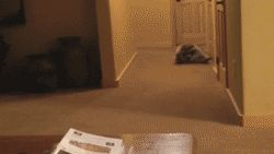 I could probably watch this all day. (It's a pet raccoon rolling down the hallway.)