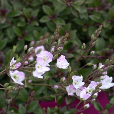 PARAHEBE pink delight