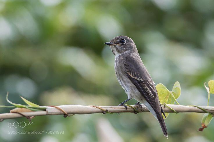 Dark-sided flycatcher by himeuran via http://ift.tt/2dpbyba