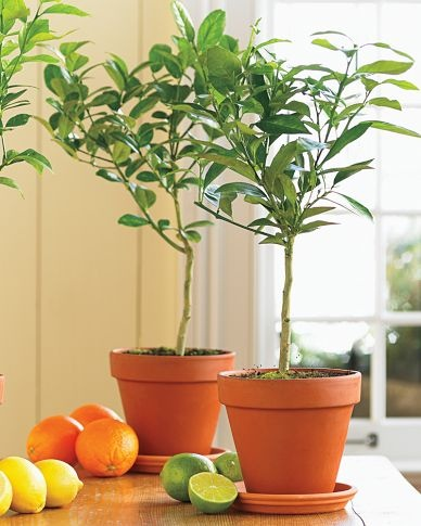 Key lime tree from Williams-Sonoma, $69.95.